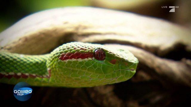 Schlangengift für ewige Jugend