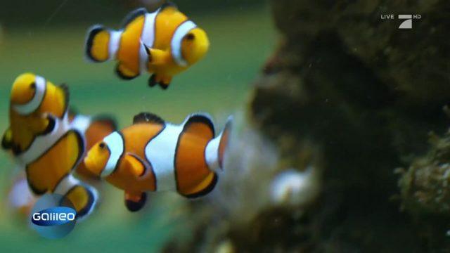 Schlaumeier: Haben Fische ein Gedächtnis?