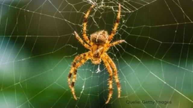 Studie: Spinnen könnten die gesamte Menschheit binnen eines Jahres komplett auffressen