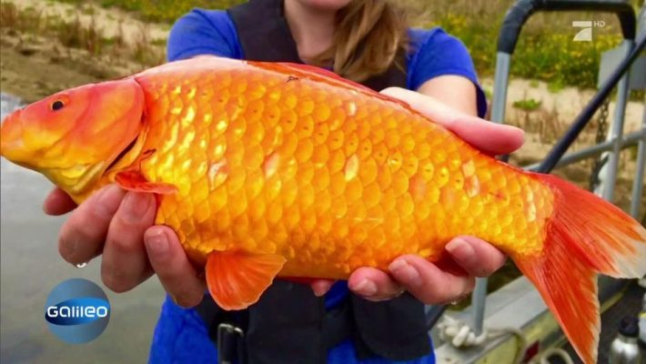 Goldfisch das online wissensmagazin for Koi und goldfische