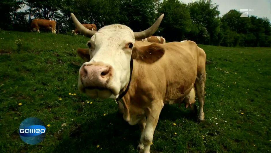 Wie effizient ist eine Bio-Milchkuh?