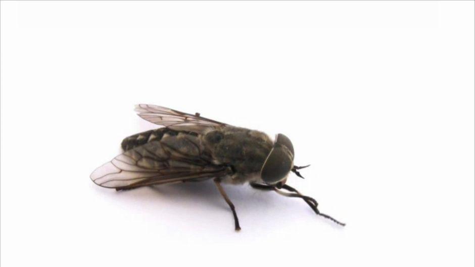 Warum reiben sich Fliegen eigentlich ständig die Beine?