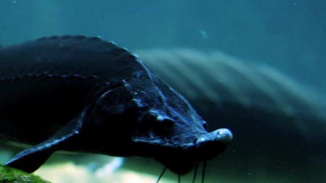 Kaviar vom Patenfisch