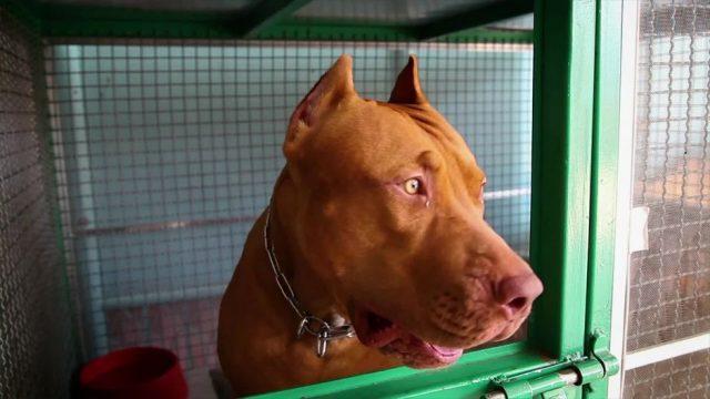 Kampfhunde: Welche Rassen stehen auf der Liste?