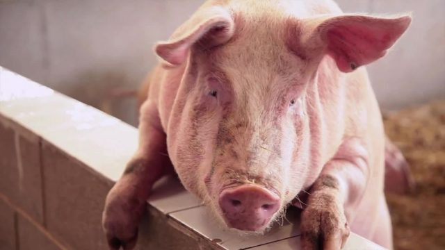 Sensation: Gehirne von Schweinen leben außerhalb des Körpers weiter