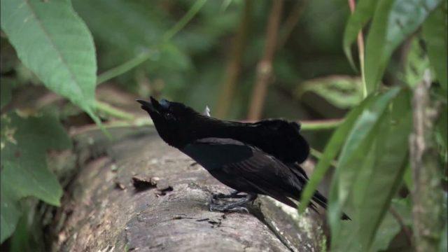 Die Federn dieses Vogels absorbieren 99 Prozent des Lichtes