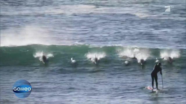 Natursensation: Surfende Delfine
