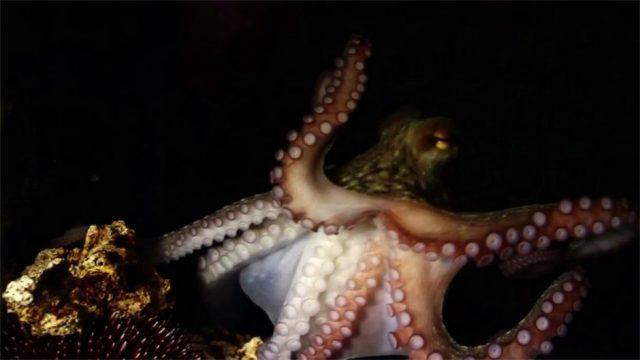 Neue Studie: Kommen Kraken ursprünglich aus dem Weltall?
