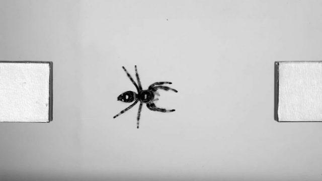 Video beweist: So weit können Spinnen springen