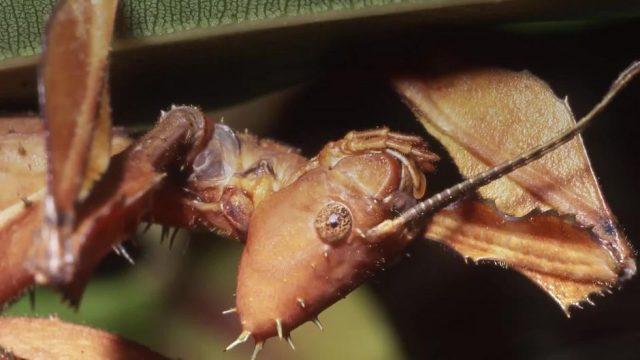 Kein Scherz: Diese seltsamen Insekten lassen sich fressen um zu verreisen