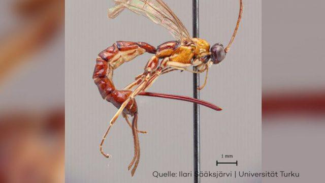 Diese neue Wespen-Art mit Riesen-Stachel ist ein echter Albtraum