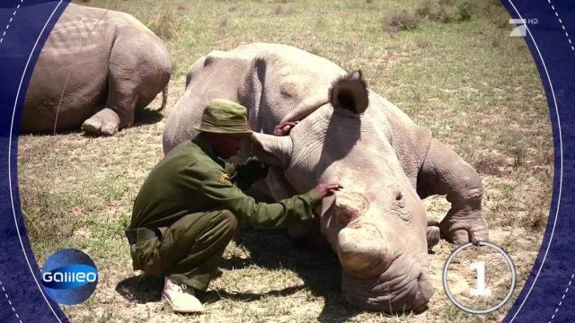 Forscher holen ein ausgestorbenes Nashorn zurück!