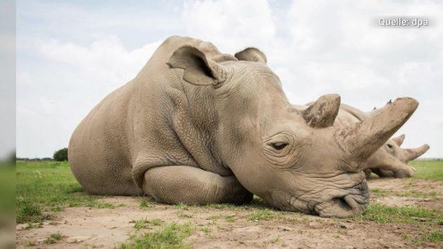 Forschern gelingt es ein Nashorn im Reagenzglas zu zeugen