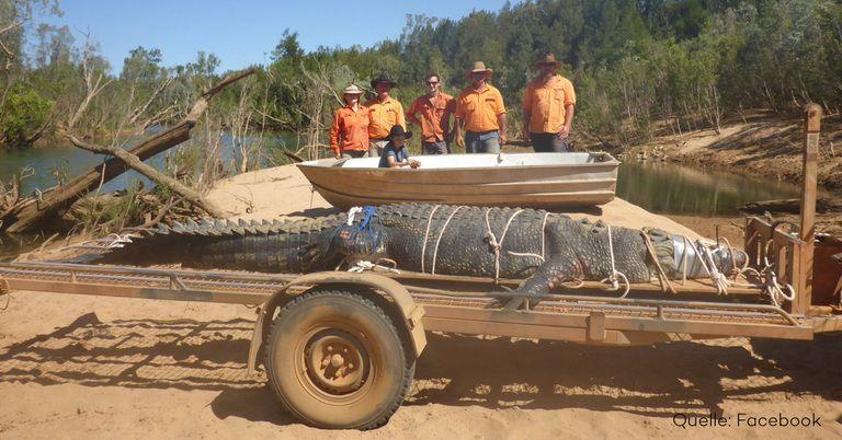 monster krokodil in australien nach 10 jahren endlich geschnappt. Black Bedroom Furniture Sets. Home Design Ideas