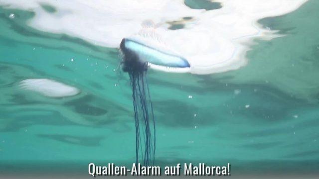 Quallen-Alarm: Portugiesische Galeere vor Mallorca aufgetaucht
