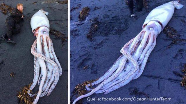 Taucher finden riesigen 4,5-Meter-Tintenfisch direkt am Strand