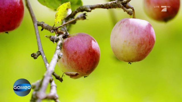 Aimans Antwort: Wann fällt ein Apfel eigentlich vom Baum?