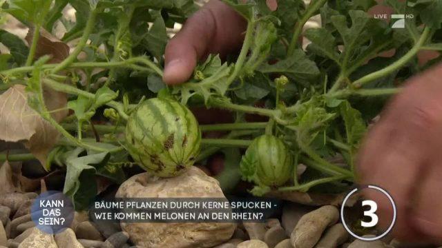 Kuriose Entdeckung: Wassermelonen wachsen am trockengefallenen Rheinufer