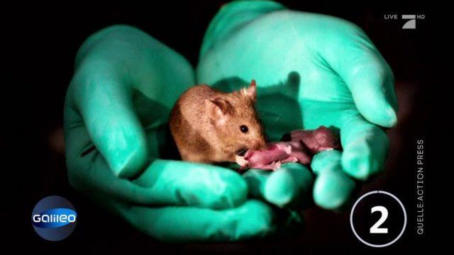 Chinesische Forscher züchten Mäuse-Nachwuchs nur aus weiblichen Zellen