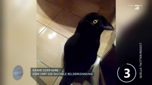 Krähe oder Rabe: Die Google Bilderkennung irrt sich!