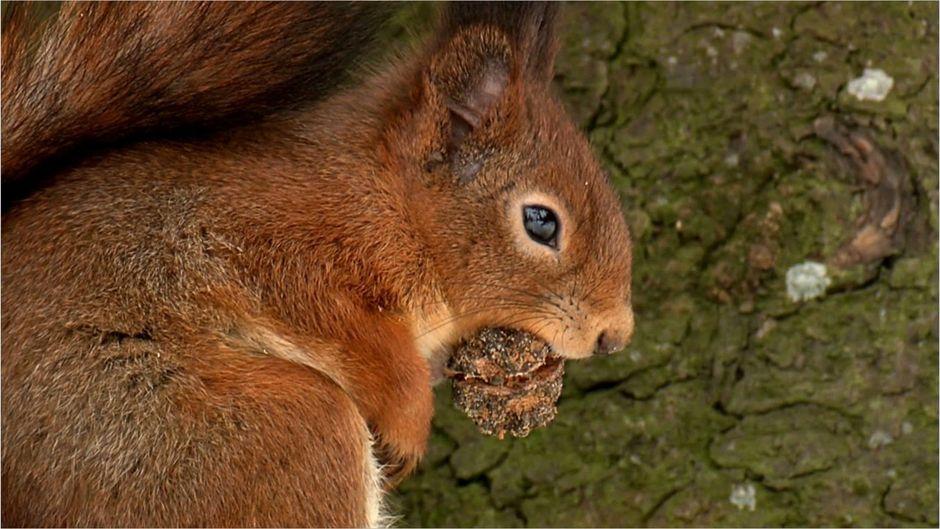 Echte Eichhörnchen