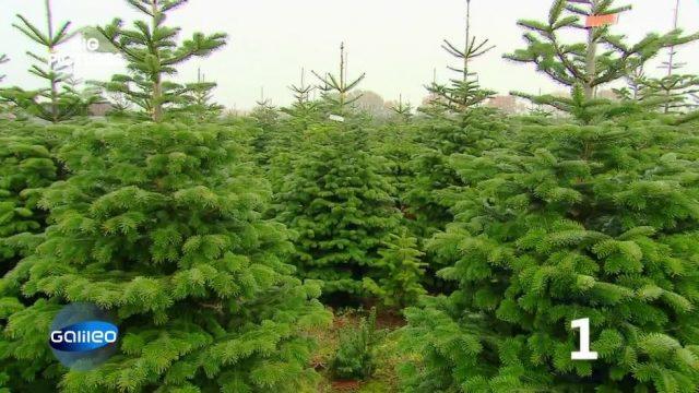 Der Weihnachtsbaum zum Mieten
