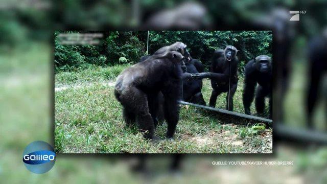 Wie reagieren Tiere, wenn sie in den Spiegel schauen?