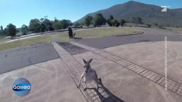 Kängurus attackieren Fallschirmspringer