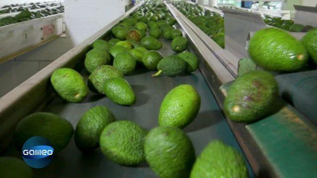 Der harte Job als Avocadopflücker