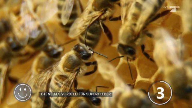 Good News: Superkleber nach Vorbild der Bienen