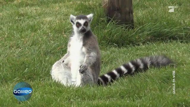 Lemoga: Yoga mit Lemuren