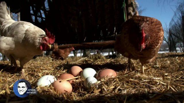 Aimans Antwort: Warum legt ein Huhn auch ohne Hahn Eier?
