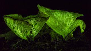 Pilze leuchten