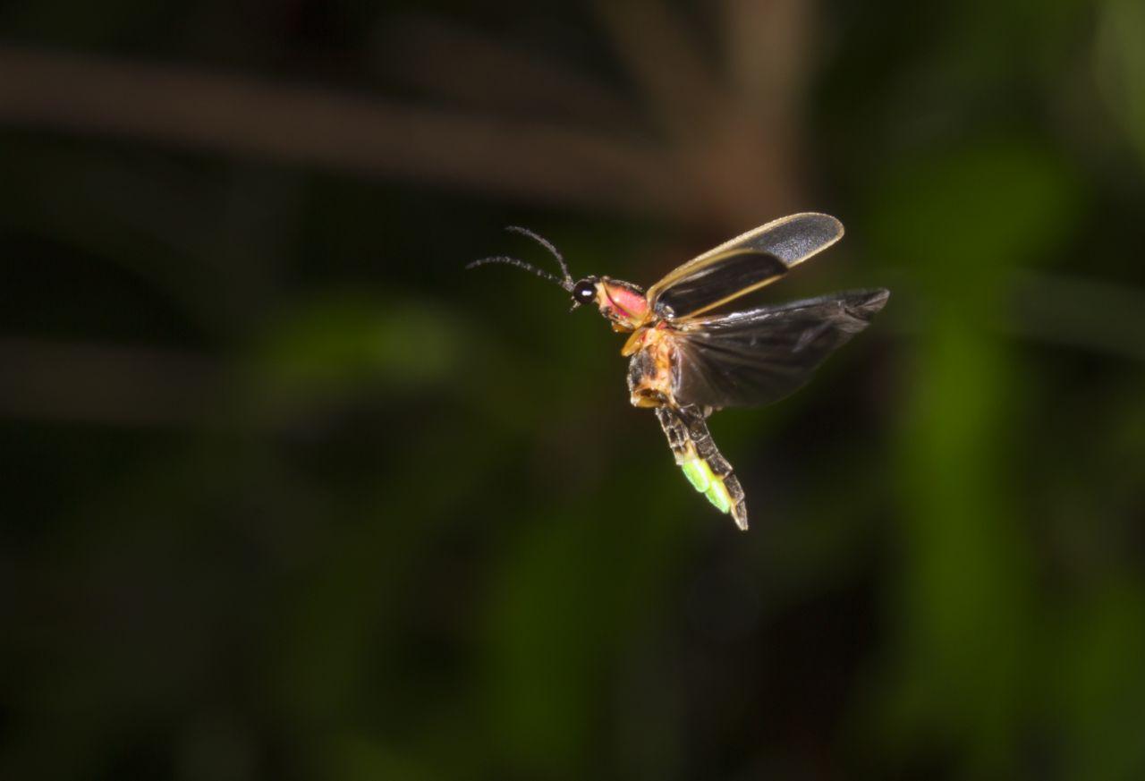 Glühwürmchen leuchtet