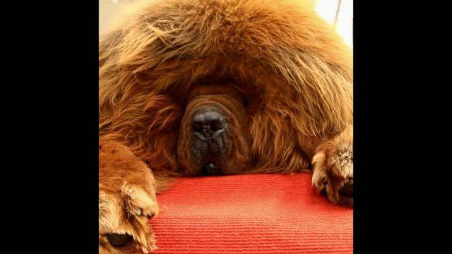 Schlappohr statt Luxuskarre: Chinas Superreiche leisten sich Hunde für über 1 Mio. Euro - 10s