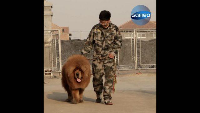 Schlappohr statt Luxuskarre: Chinas Superreiche leisten sich Hunde für über 1 Mio. Euro
