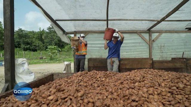 Wertvoller Rohstoff: Warum Kakaoernte immer noch Handarbeit ist