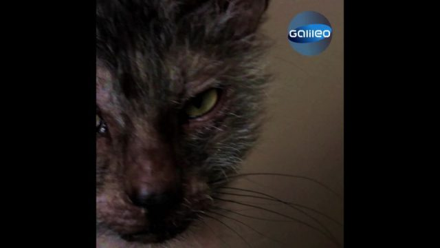 Werwolf-Katzen: Miezen mit Grusel-Faktor
