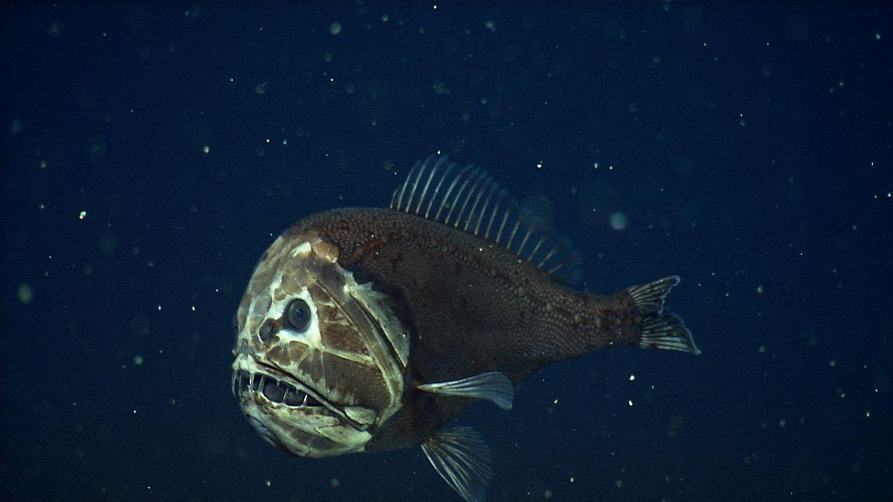Fangzahnfische können andere Fische verspeisen, die fast so groß sind wie sie selbst.