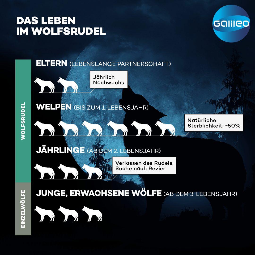 Wölfe leben monogam und bleiben bis zu ihrem Tod zusammen.