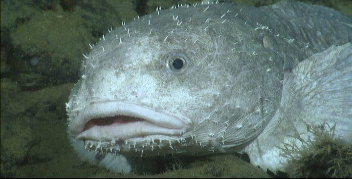 Der Blobfisch ist ein Boden-Bewohner.