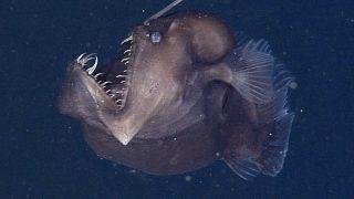 Der weibliche Anglerfisch unter Wasser