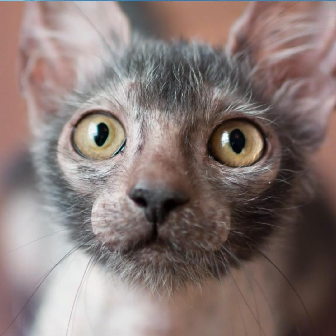 Lykoi: Die schaurige Werwolf Katze mit dem sanften Wesen