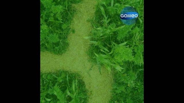 Cannabis in Deutschland