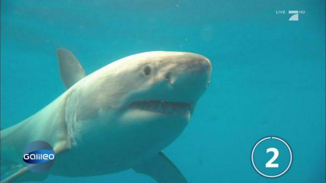 Wissenschaftler bestätigen: Der Weiße Hai fürchtet den Schwertwal