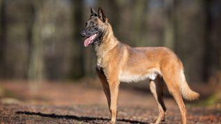 Malinois/Belgischer Schäferhund