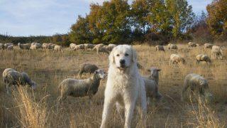 Schäferhunde als Schutz vor Wölfen
