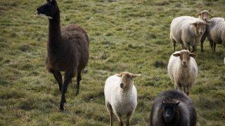Lamas beschützen Schafherden.