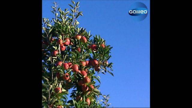 Ökologischer Fußabdruck: Die Reise eines Apfels