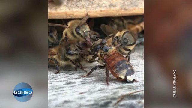 Beeindruckendes Video: Bienenvolk hilft einer anderen Biene und rettet sie damit vor dem Tod